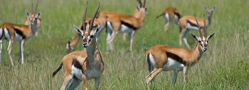 Gazelles in Kenya